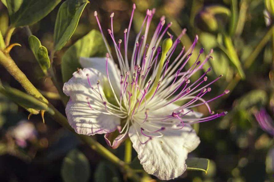 Mediterrán növények